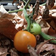 Feral Tomatoes
